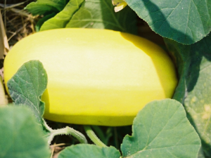spaghetti-squash-growing-with-plant-710x533